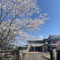 山中貞則顕彰館の桜の木